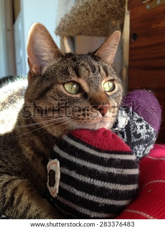 Cute brown tabby cat resting her chin on a catnip cat toy. - stock photo