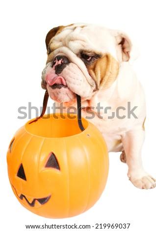 Cute Bulldog Holding a Jack O' Lantern for Halloween - stock photo
