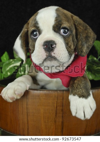 Cute Bulldog puppy in a bucket wearing a red Hankie with a black background. - stock photo