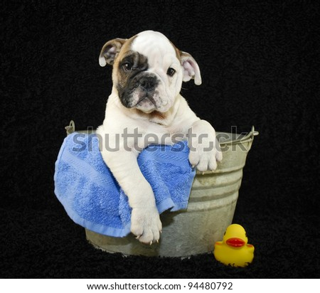Cute Bulldog puppy sitting in a bath tub on a black background. - stock photo