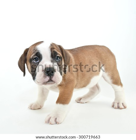 Cute Bulldog puppy that looks like he just got in trouble, with copy space on a white background. - stock photo