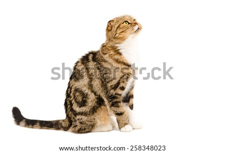 Cute cat breed Scottish Fold sitting isolated on white background, side view - stock photo