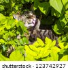 cute cat lying in the hedge and relaxes - stock photo