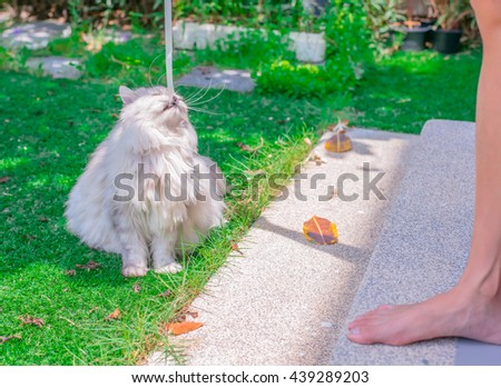 Cute Cat. Persian Cat, Animal portrait. lovely Cat, Silver Cat, Cat in the garden,Persian cat in the home garden with flower on grass, friendly cat, Persian cat playing, Persian cat chill, Persian  - stock photo