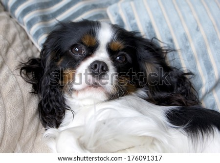 cute cavalier spaniel lying on the bed - stock photo