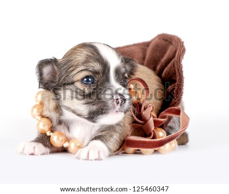 cute chihuahua baby decorated with beads on velvet ribbon against white background - stock photo