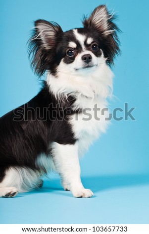 Cute Chihuahua black and white isolated on light blue background. Long hair. Studio portrait. - stock photo