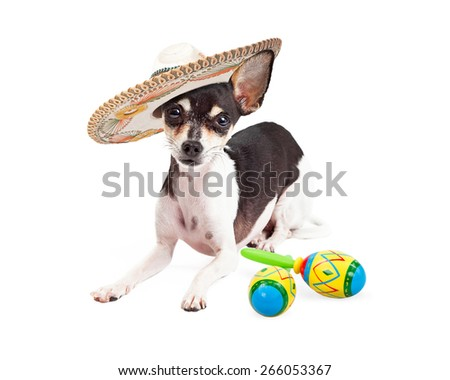 Cute Chihuahua breed dog wearing a mexican sombrero laying next to a pair of maracas to celebrate Cinco De Mayo. - stock photo