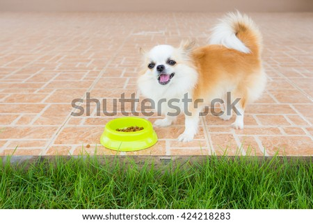 cute chihuahua dog eat food in home - stock photo