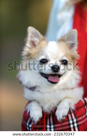 cute chihuahua dog inside bag for pet  outdoor - stock photo