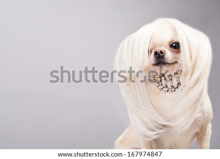 cute chihuahua dog posing before camera - stock photo