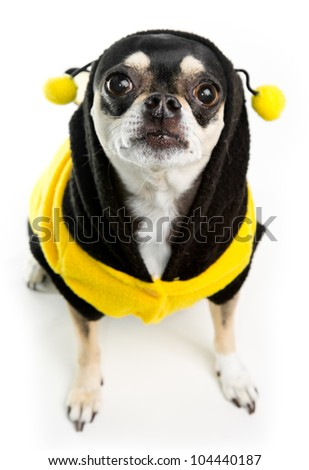 Cute Chihuahua dressed as Honey Bee on white background - stock photo