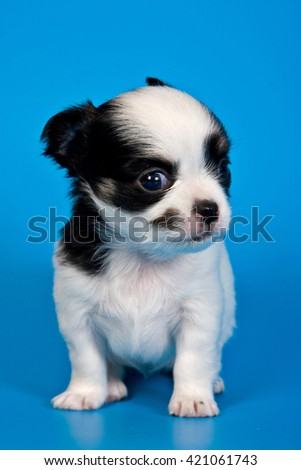 Cute chihuahua puppy dog on a blue background - stock photo
