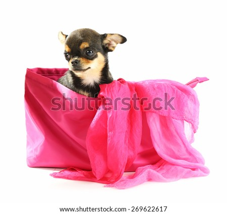 Cute chihuahua puppy sitting in female color bag isolated on white - stock photo
