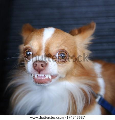 Cute chihuahua showing fang tooth. - stock photo
