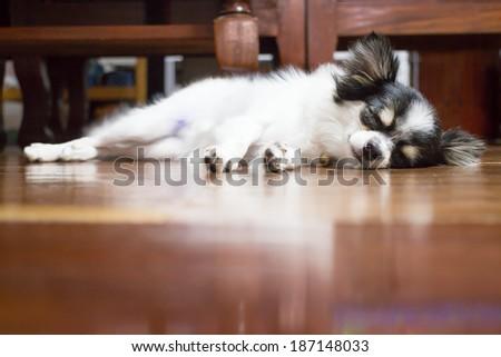 Cute chihuahua sleeping on wooden floor, stock photo - stock photo