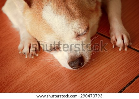 cute chihuahua taking a nap - stock photo