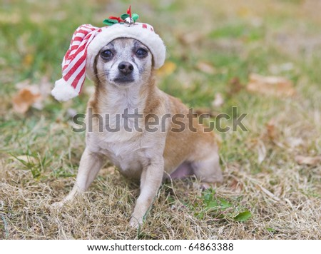 cute Chihuahua  with Santa hat - stock photo