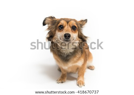 Cute chihuaua dog on white background - stock photo