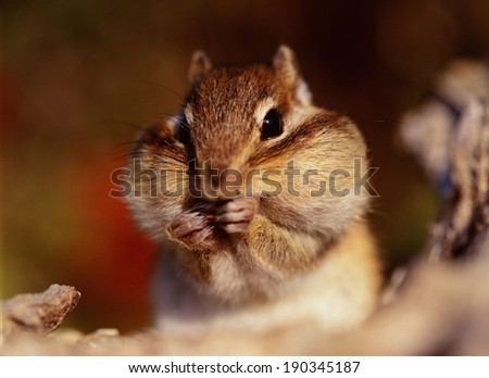 Cute chipmunk eating - stock photo