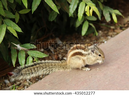 cute chipmunk eating in the park of Delhi, India - stock photo