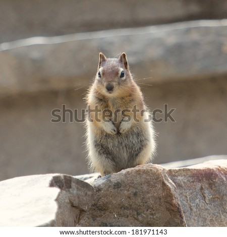 Cute chipmunk on a rock watching the scenery warily - stock photo