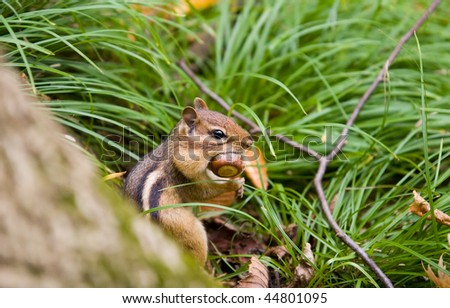 cute chipmunk with nut in his mouth and cheeks - stock photo