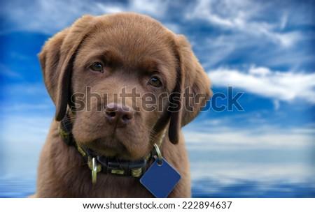 Cute chocolate labrador puppy - stock photo