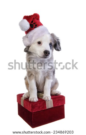 Cute Christmas Australian Shepherd puppy wearing Christmas hat on red gift box isolated on white background - stock photo
