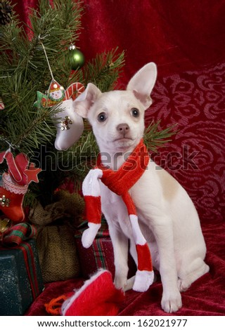 Cute Christmas Chihuahua Puppy under Christmas tree wearing red and white scarf on red velvet background - stock photo