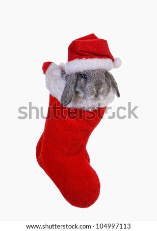 Cute Christmas grey mini lop baby bunny rabbit in stocking wearing Santa hat isolated on white background - stock photo