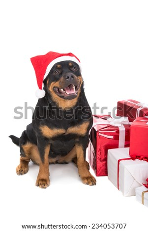 Cute Christmas rottweiler sitting and looking up with presents, isolated on white. - stock photo