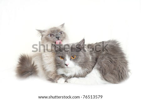 Cute couple of cats sit on white young cat lick other - stock photo