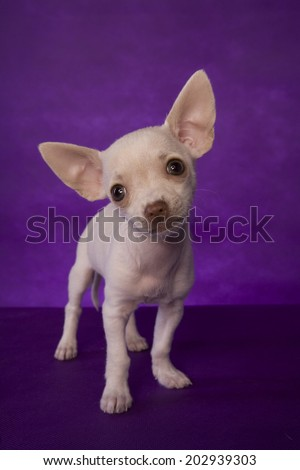 Cute cream color short haired Chihuahua puppy standing on purple background - stock photo
