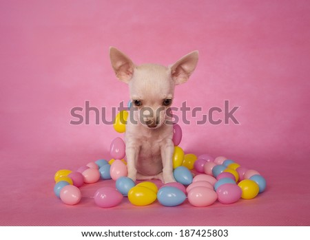 Cute cream color shorthaired Chihuahua puppy on pink background with easter eggs - stock photo
