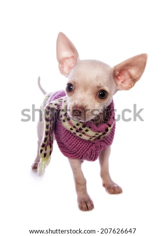 Cute cream color shorthaired Chihuahua puppy wearing pink sweater isolated on white background - stock photo
