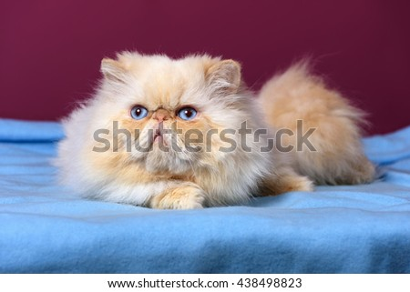 Cute cream colorpoint persian cat is lying on a blue bedspread in front of a purple wall background - stock photo