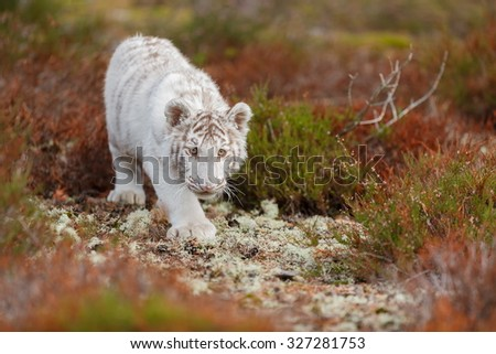 cute cube tiger - stock photo