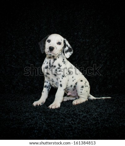 Cute Dalmation puppy sitting on a black background. - stock photo