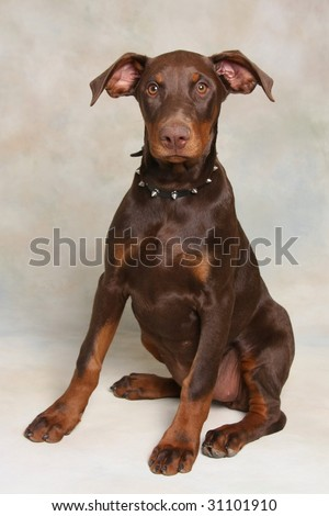 Cute Doberman Pincher Puppy - stock photo