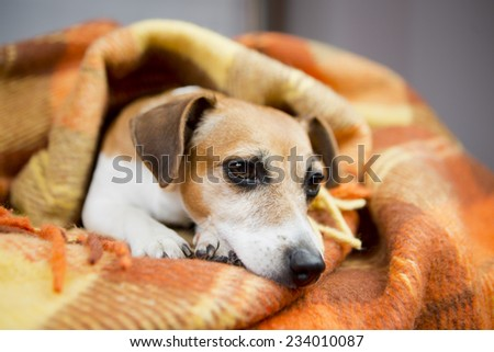 cute dog basking resting under a cozy blanket - stock photo