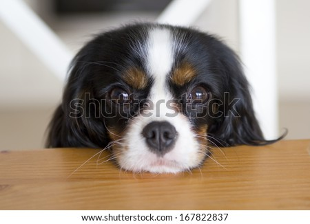 cute dog begging for food at the kitchen table - stock photo