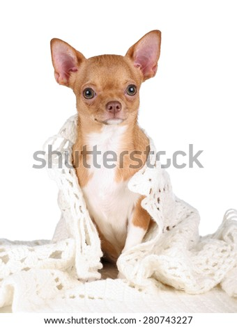 Cute dog chihuahua on a white background - stock photo