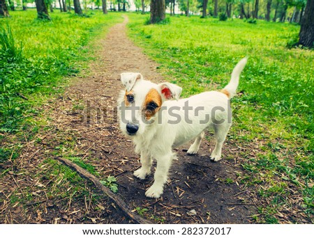 Cute dog funny Jack-Russell-terrier nature walking - stock photo
