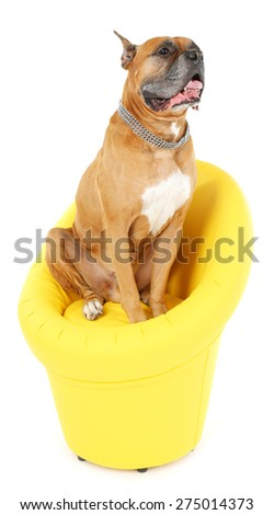 Cute dog in yellow armchair isolated on white background - stock photo