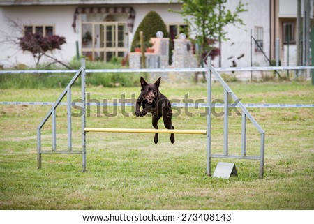 Cute dog jumps during an agility dog competition - stock photo