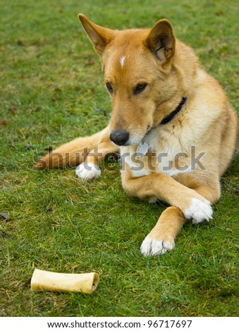 Cute Dog Looking at Bone - stock photo