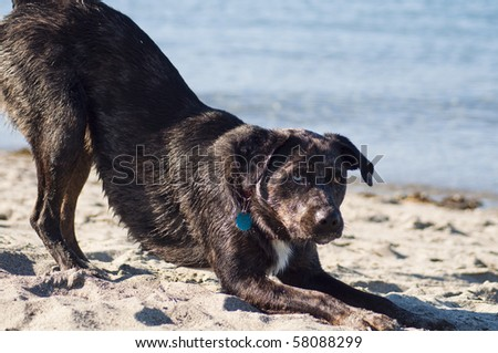 Cute dog playing on the sandy beach by the ocean shore on a beautiful sunny day. - stock photo