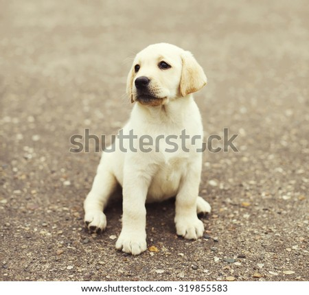 Cute dog puppy Labrador Retriever sitting on street - stock photo