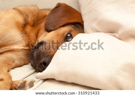 Cute dog resting on the sofa - enhanced colors - stock photo